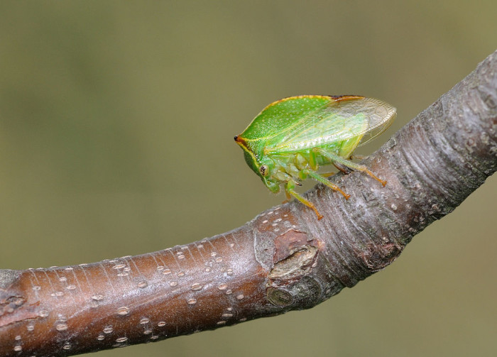 8.) Buffalo treehopper