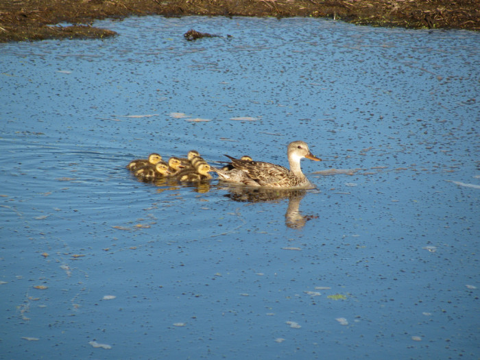8. How adorable is this duck and her ducklings? Love it!
