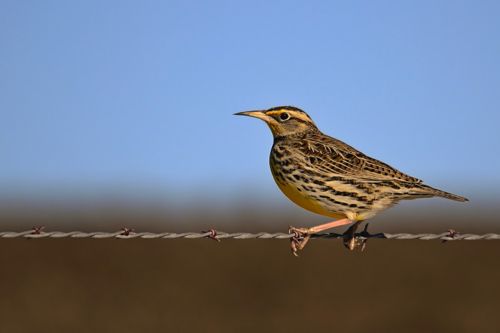 An eastern meadowlark makes an appearance on a barbed wire fence near Beatrice.