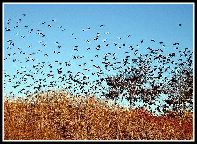 """10. """"Blackbirds at Dusk"""""""
