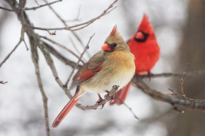 8. Look! The Red Cardinal made a friend!