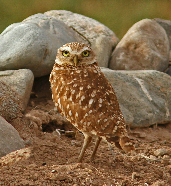13. The burrowing owl is a bit of an anomaly.