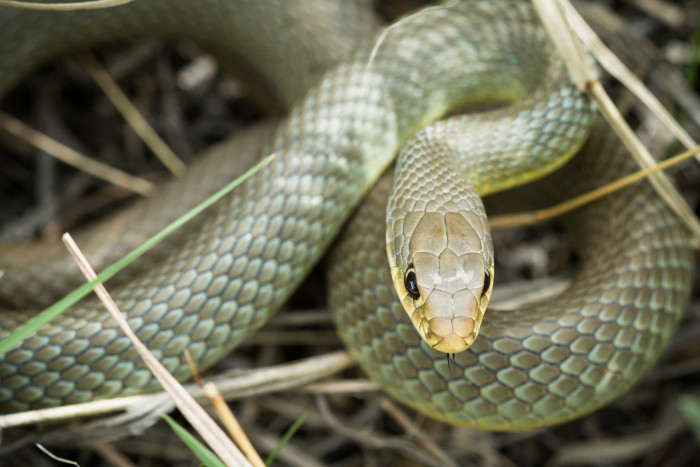 11. Most snakes are scary, but there's something special about this Eastern Yellowbelly Racer.