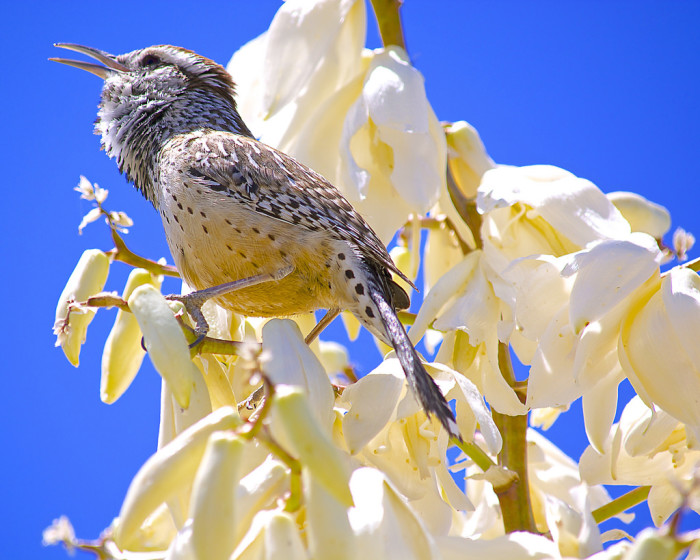 4. This cactus wren looks absolutely stunning against a pure blue sky.