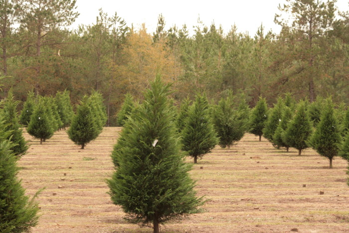 1. It's never too early for Christmas at this Magnolia, Mississippi Christmas tree farm.