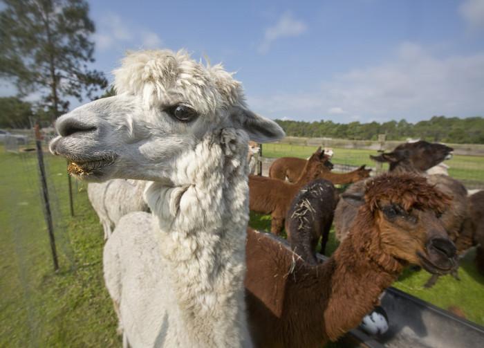 14. Chantilly Ridge Alpaca Farm, Port Orange, FL