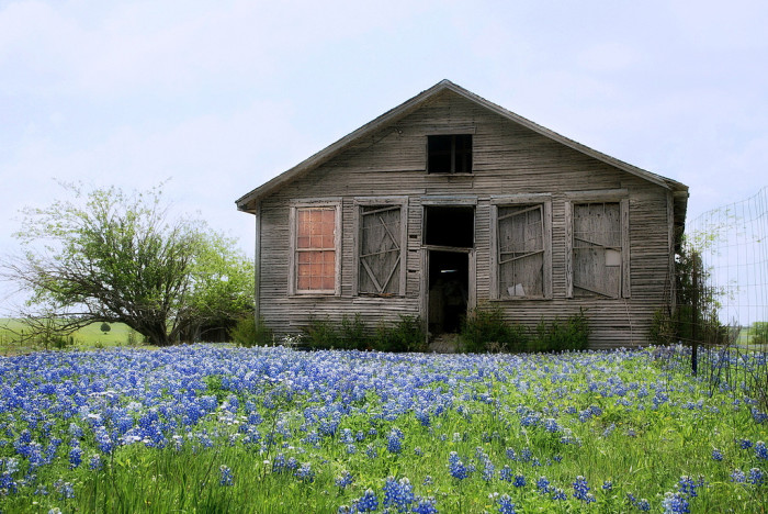 7) An abandoned farm house still stands strong among the beautiful bluebonnets.
