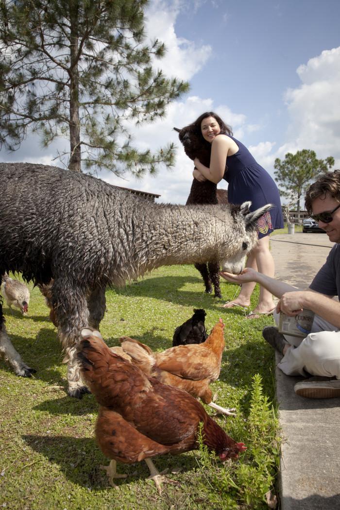 Chantilly Ridge Alpaca Farm, Port Orange, FL