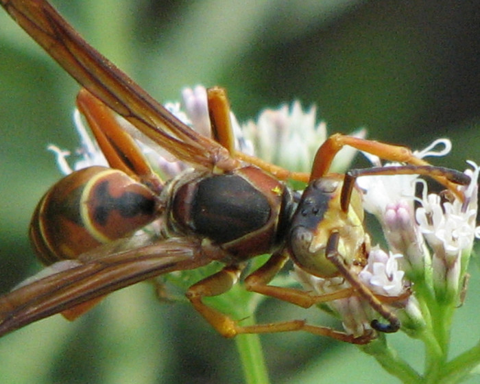 6) Northern Paper Wasp (Polistes fuscatus)