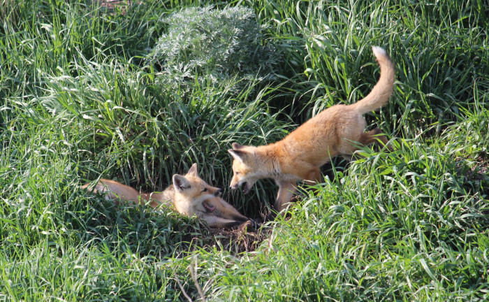5. A pair of Red Fox kits at play in McIntosh County, North Dakota.