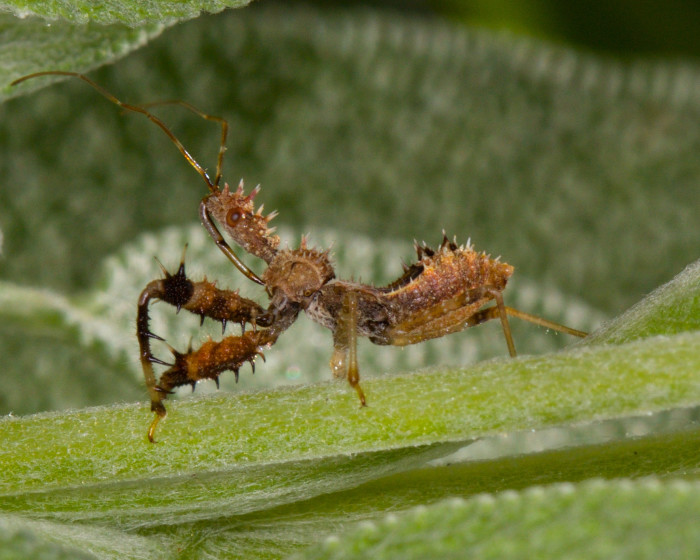5) Assassin Bug