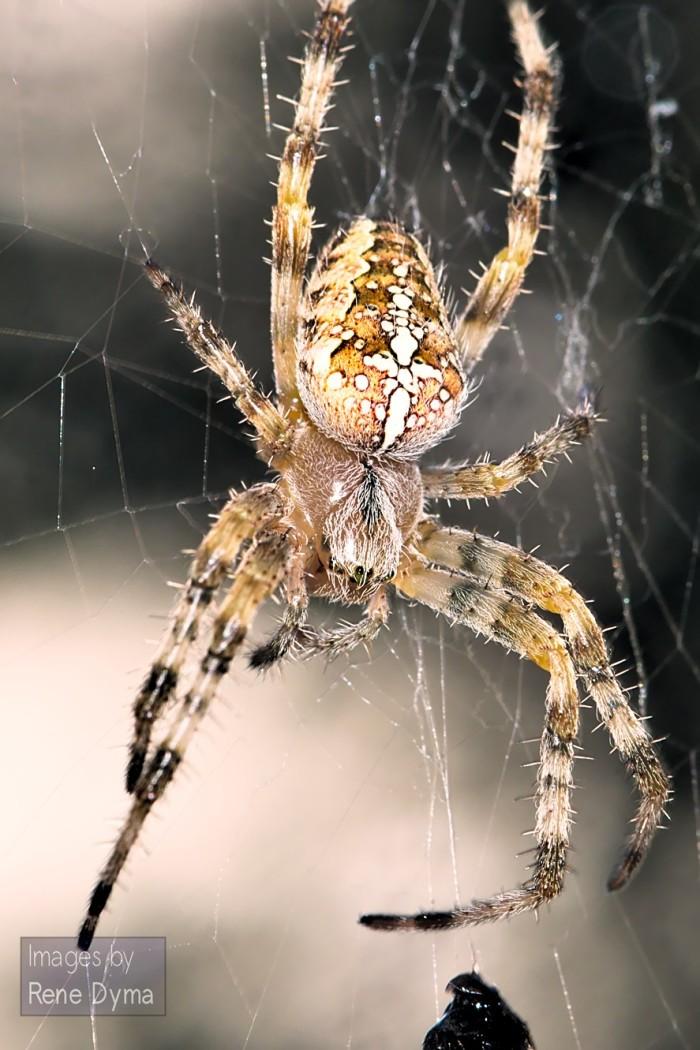 22. Cross Spider