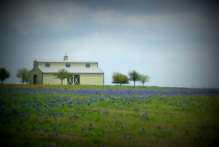 12) Look at this gorgeous expanse of bluebonnets surrounding a quaint barn in the country. So peaceful..