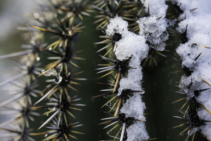 8. You don't see a cactus covered in snow every day.