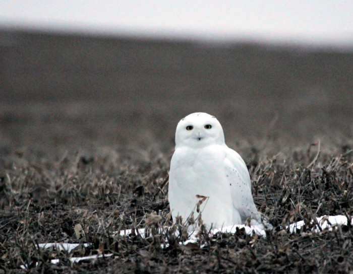 6. A beautiful snowy owl in North Dakota after the snow has melted.