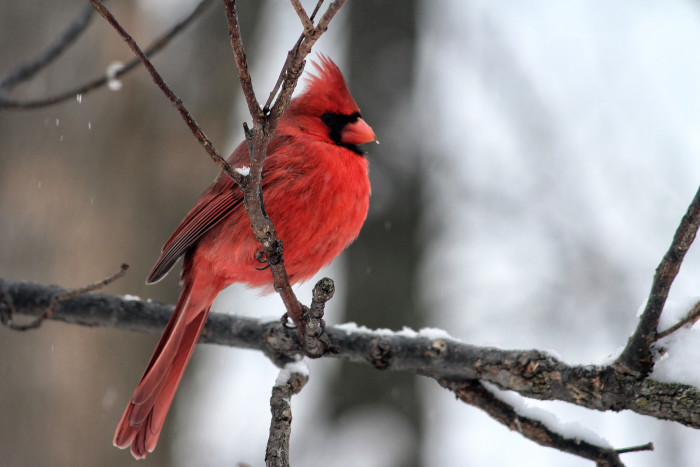 1. Check out this close up of this Red Cardinal!