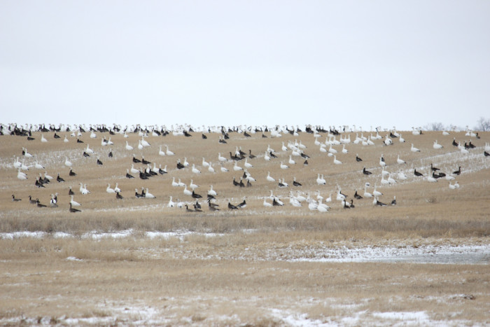 2. Geese resting and feeding in a field in McIntosh County, North Dakota.