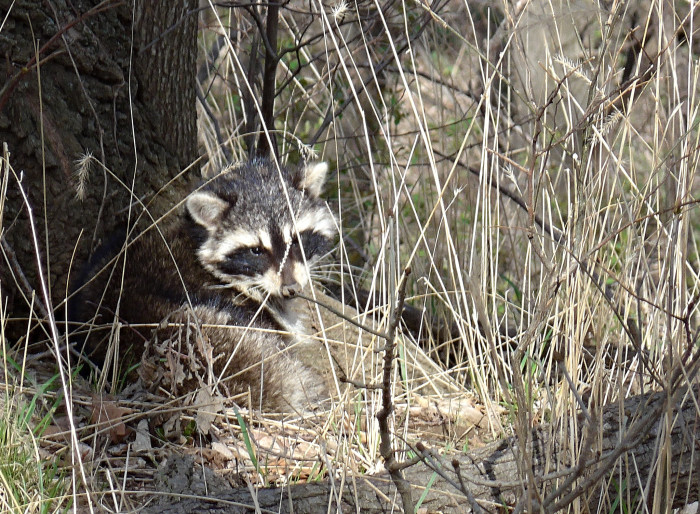 A raccoon peeks out of the grass at Fontenelle Forest in Bellevue.