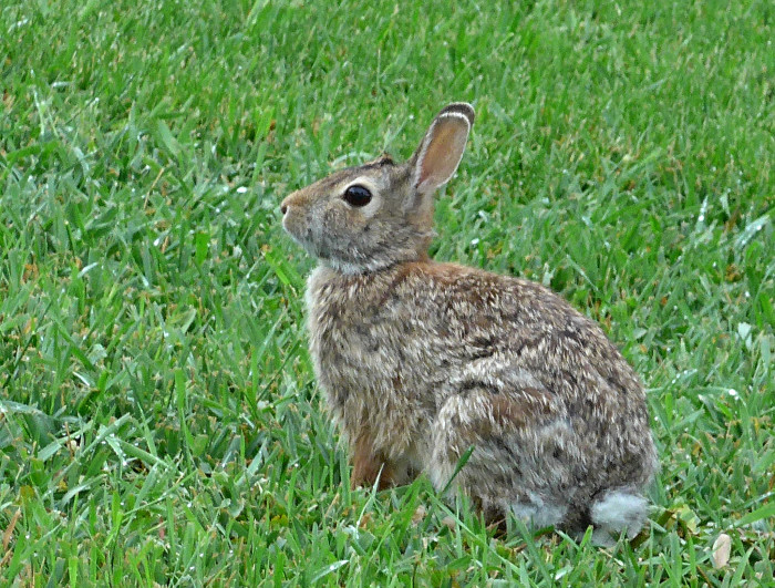 Cottontail rabbits like this one spotted in Wayne are a very common sight, but they're always fun to see.