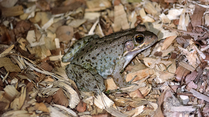 12. If you want a pet frog just go outside, they are everywhere and easy to catch!