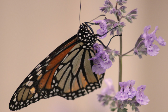 10. Monarch butterflies are so BEAUTIFUL!!!