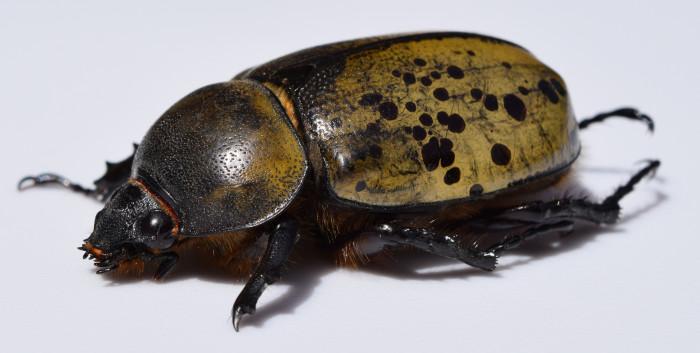 24. Eastern Hercules Beetle