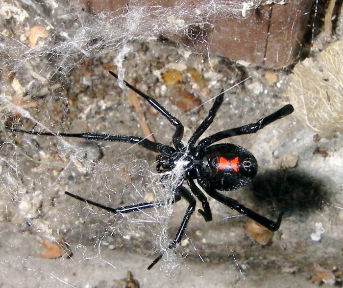 3. Black Widow Spider
