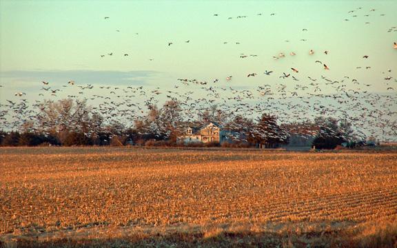 A Huge Flock of Birds Taking Flight From a Nebraska Farm's Field