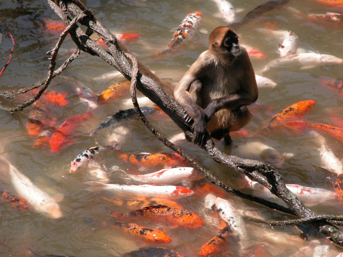 This Cheeky Monkey Wants to Intercept Some Koi Food at the Omaha Zoo
