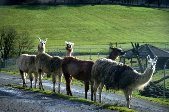 7) One-fourth of the country's llama population call Oregon home.