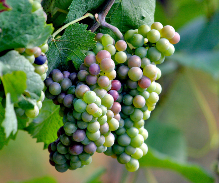 1) Georgia was the first colony to cultivate grapes in 1735.