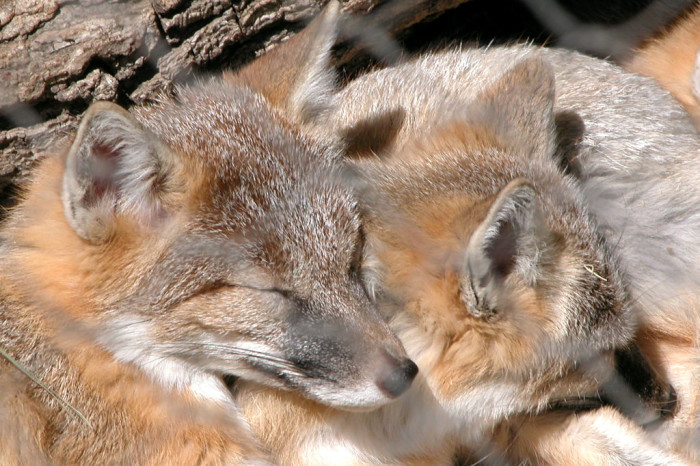 Sleepy Foxes dreaming away at the Lee G. Simmons Conservation Park and Wildlife Safari.