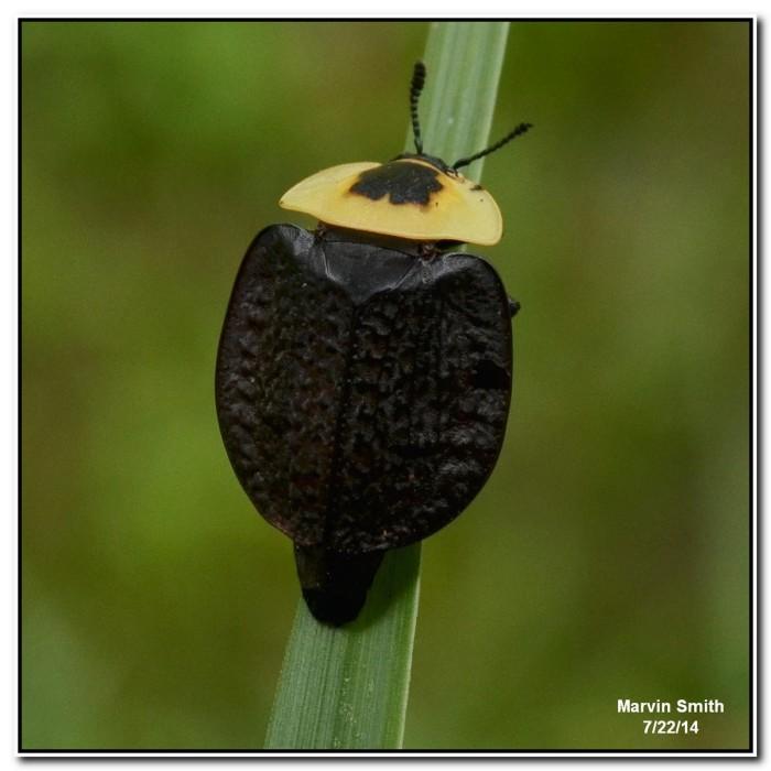 2. American Carrion Beetle