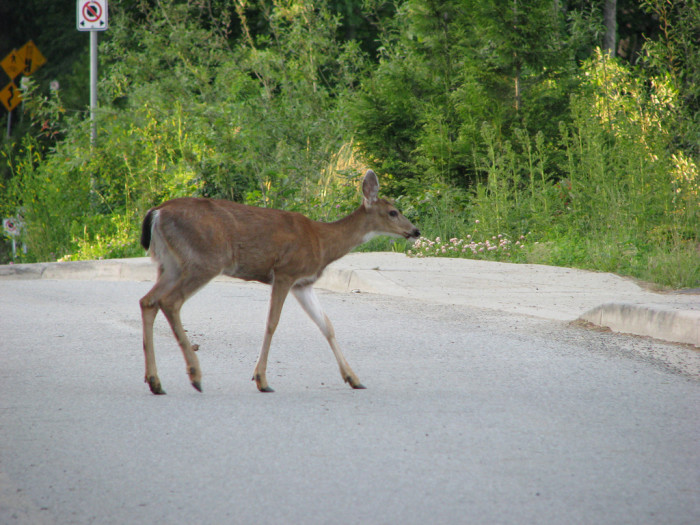 No matter where you're driving, you MUST watch both sides of the road for reckless deer.