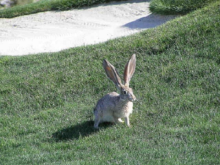 15. A wild rabbit at the Las Vegas Paiute Golf Resort.