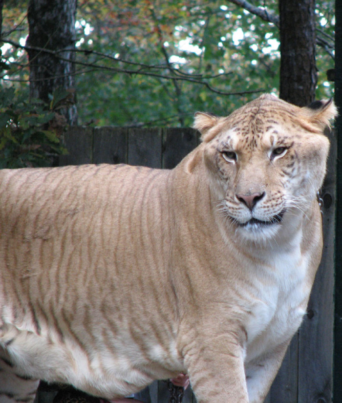 7) Seeing Shasta the Liger at Hogle Zoo