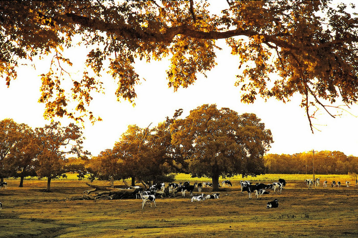 3) These cows rest near a tree at a beautiful farm located between Bremond and Franklin.