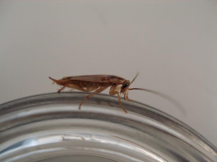 5. German Cockroach