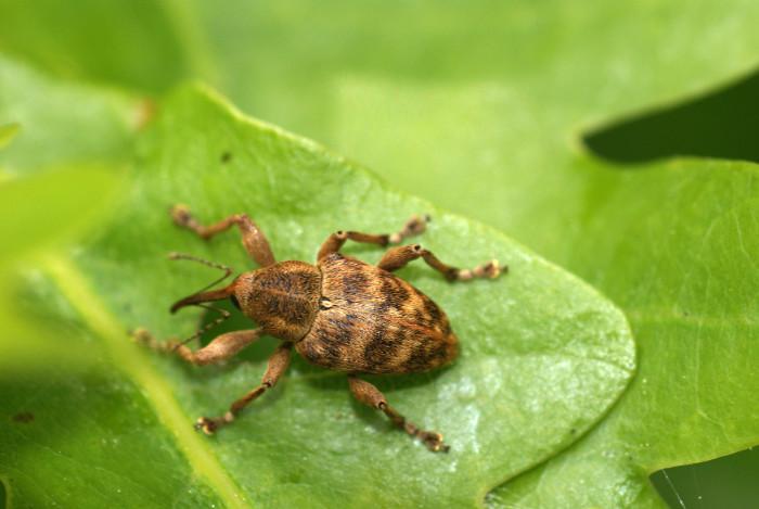 8. Acorn Weevil