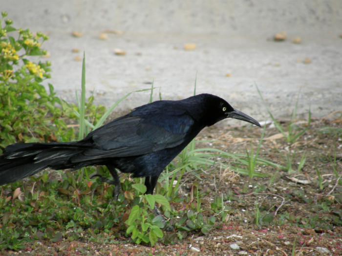 10. A Great-tailed Grackle in Las Vegas, Nevada.