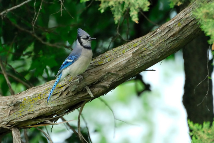 This regal bluejay is just hanging out in a backyard in Beatrice.