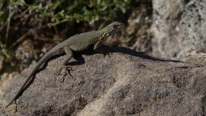 2. A lizard in Rabbit Valley.