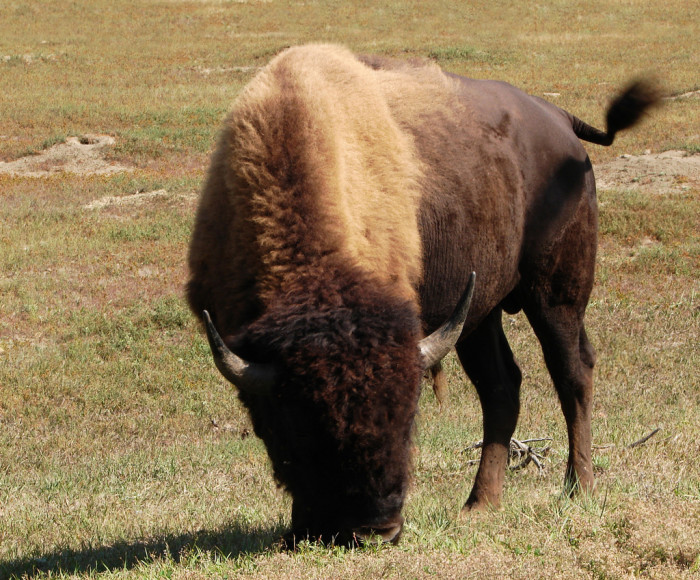 4. An American plains bison in Theodore Roosevelt National Park.