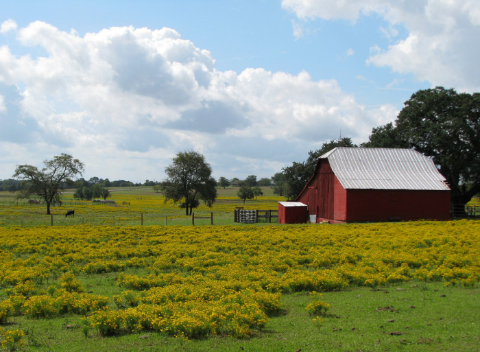 8) A quaint barn amidst a field of stunning yellow flowers.