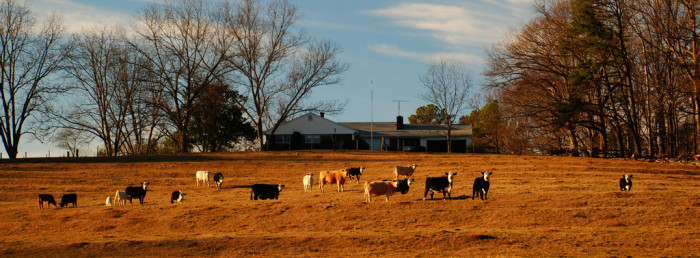 9. A free-range cattle farm. Just the way nature intended in Walhalla, SC.