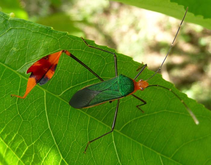 9. Leaf-Footed Bug