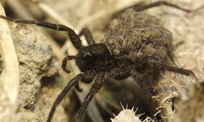 4. Wolf Spider