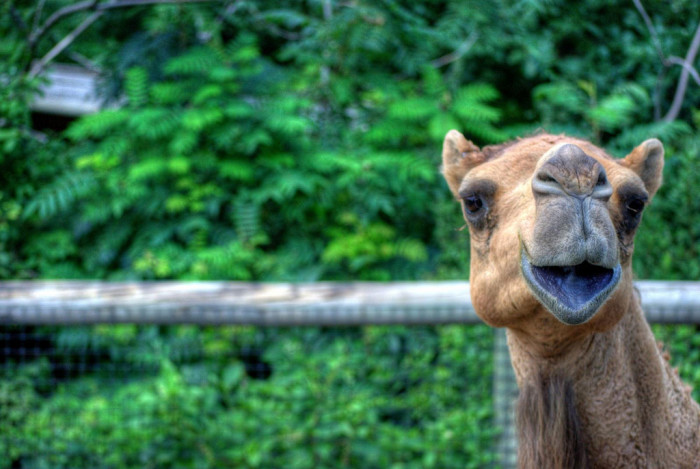 This goofy camel at the Lincoln Children's Zoo clearly does not mind having its picture taken!