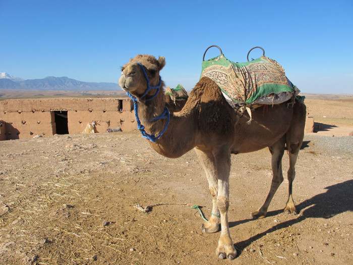 9. It is illegal to hunt camels in Arizona.
