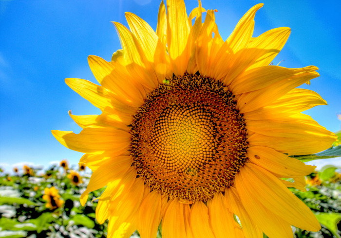 A Sunny Sunflower in a Huge Field